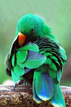 preening his feathers