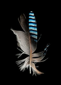 Eurasian Jay Feather portrait 5x7 8x10 11x14 or custom by SeanoEye, $10.00