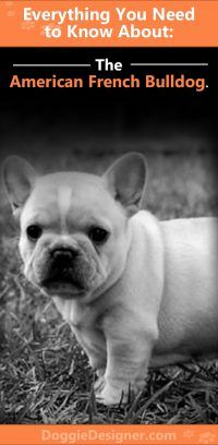 American Bulldog And French Bulldog Mix The Complete Guide