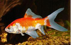 Pond Comet Goldfish For Sale At Aquariumfish Net Where