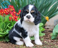 Scout | Cocker Spaniel Puppy For Sale | Keystone Puppies Spaniel Puppies For Sale, Cocker Spaniel Puppies, Baby Cats, Dogs, Animals, Cocker Spaniel Pups, Animales, Small Kittens, Animaux