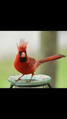 Northern Cardinal....he's having a bad hair day :)