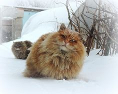 Russian Kitteh says in Old Country, Polar Vortex much colder. Had to walk 20 miles in snow every day for kibble...   (via Алла Лебедева)