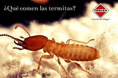 ¿Qué comen las termitas? - Trolexlas termitas no solo comen madera seca, también consumen otros varios alimentos, incluyendo trozos de plantas en descomposición, hierba seca, estiércol de animales, hongos, musgos y otros tipo de vegetación.