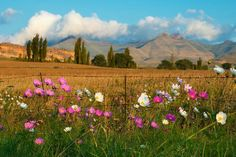 Near Golden Gate National Park, Free State, South Africa. Cosmos flowers mark the end of summer in the Northern part of South Africa Landscape Photos, Landscape Paintings, Oil Paintings, Cosmos Flowers, Free State, End Of Summer, Africa Travel, Countries Of The World, Golden Gate