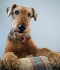 Airedale Terrier - looks like my Bristle.