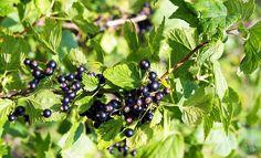 Rețete medicinale din COACĂZE negre – fructele longevității, tinereții, vigorii și sănătății | La Taifas Natural Remedies, Flora, Healthy, Bio, Medicine, Vitamin C, Remedies, Plant, Plants