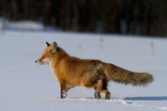 Red Fox, Foxes, Deer, Wolf, Cute Animals, Wildlife, Creatures, Japan, Photos