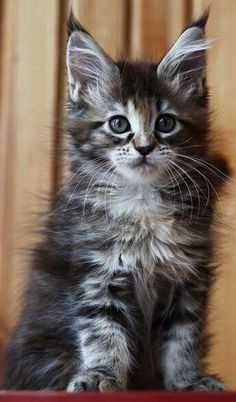 Kittens Cutest, Cats And Kittens, Cute Cats, Crazy Cat Lady, Crazy Cats, Serious Cat, Maine Coon Cats, Fluffy Cat, Pretty Cats