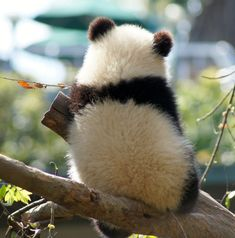 "fictionspulp: "" Giant panda cub Xiao Liwu at the San Diego Zoo, California, on March 6, 2013. © LeeLee 3680. """