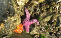 starfish in tofino Tofino, British Columbia....saw so many starfish at low tide and while kayaking in the bay....
