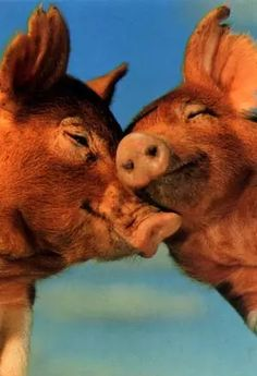 photo of kissing pigs
