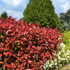 Elevate your garden, effortlessly, with our Shrubs and Hedges for Sale. Eco Garden, Garden Care, Terrace Garden, Garden Plants, Home And Garden, Photinia Red Robin, Privacy Landscaping, Tree Pruning, Holiday Places