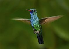 Blue-chinned Sapphire Hummingbird (Chlorestes notatus) in flight, Asa Wright Nature Center, Trinidad.