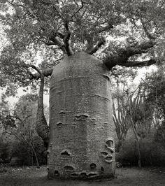 Cet arbre en forme de théière est situé dans une réserve de la côte ouest de Madagascar