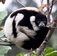 Black-and-white ruffed lemur (Varecia variegata) //Ruffed lemurs (Varecia)