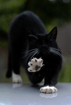 schwarze Katze mit weißen Pföten