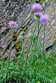 Rødknapp (Knautia arvensis)