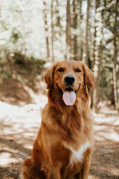 Dark Golden Retriever, Golden Retriever Names, English Golden Retrievers, Red Golden Retriever Puppy, Perros Golden Retriever, Cute Baby Dogs, Cute Dogs And Puppies, Doggies, Hiking Dogs