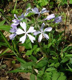 Wild Blue Phlox can be found at Hogback Ridge Park now through April 20. http://lakemetroparks.com/select-park/wildflowersinbloom#home