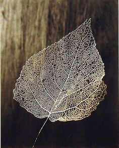 Olive Cotton (1911-2003) : [Leaf Skeleton] c1964  http://www.google.com.sg/search?hl=en-GB_esc==ms-android-samsung=android-browser-type=133247963=1357529854664=devloc=olive+cotton=133247963  #photography #nature