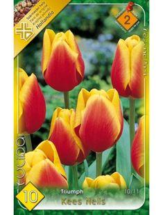 Triumph-típusú tulipán 'Kees Nelis' Peach, Fruit, Peaches