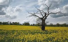 Image result for rapeseed field Rapeseed Field, Breathe, Vineyard, Concept, Outdoor, Image, Ideas, Outdoors, Outdoor Games