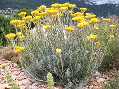 The genus Helichrysum consists of an estimated 600 species, in the sunflower family Asteraceae. The type species is Helichrysum orientale. Plant Design, Garden Design, Horticulture, Corsica Travel, Helichrysum Italicum, Coastal Gardens, Seaside Garden, Growing Herbs, Trees And Shrubs