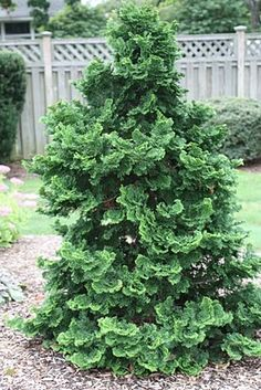A GUIDE TO NORTHEASTERN GARDENING: Evergreens.  Hinoki Cypress (we have 3 of these).