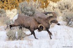 Bighorn Sheep - Cody, Wyoming