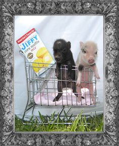 @Karman Bowers IS THIS JUST THE MOST PRECIOUS THING YOU'VE EVER SEEN!!?!?!  Mini Micro Pigs - Miniature Pigs - Teacup Pigs - Juliana Pigs