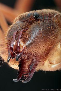Camel spider (Solifugidae)   Flickr - Photo Sharing!