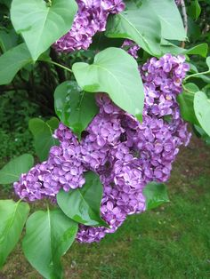 Lilacs!  In several places - three out front by the fence, one at the end of the veggie garden, one in the trees by Jeff's archery lane!