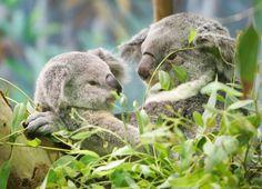 Seltene Tiere in Gefahr: Koalas und viele weitere Säugetierarten wie den Ameisenbeutler gibt es nur in Australien. Forscher der Charles Darwin-Universität in Darwin fordern nun einen besseren Schutz: Die Tierwelt in Australien sei stärker bedroht, als man bisher angenommen hatte.