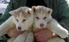 Liebe x 2 ♥ ♥ - furry charm farm - Huskie Siberian Husky Names, White Siberian Husky, Husky Puppy, Siberian Huskies, Most Beautiful Dogs, Animals Beautiful, Multi Colored Eyes, Little Husky, Alaskan Malamute
