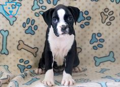 Sweetness | Boxer Puppy For Sale | Keystone Puppies
