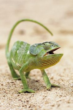 Flap-necked Chameleon Art Print by Georgette Douwma. All prints are professionally printed, packaged, and shipped within 3 - 4 business days. Les Reptiles, Reptiles And Amphibians, Mammals, Beautiful Creatures, Animals Beautiful, Chameleon Lizard, Karma Chameleon, Funny Animals, Cute Animals