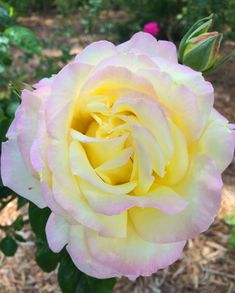 Peace Hybrid Tea Rose - Monrovia - Peace Hybrid Tea Rose