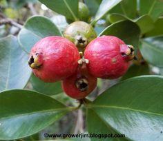 Strawberry guava Psidium cattleianum