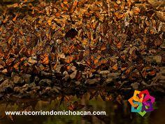 En el Santuario Sierra Chincua, puede contemplar en los miradores los hermosos paisajes y los guías le platicarán los recorridos que hacen las mariposas desde el noreste de Estados Unidos y el sur de Canadá hasta la Sierra Chincua. El tiempo de los recorridos, depende de la temporada y ubicación de las colonias de mariposas, la caminata es de aproximadamente hora y media o puede hacer el recorrido a caballo. HOTEL CABAÑAS ERENDIRA http://erendiralosazufres.com/
