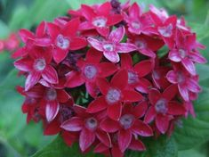 Pentas lanceolata - sunny or part shade. Mix well with salvia and dahlia.