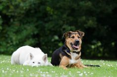 White husky chow mix Breeders since very earlier time have been breeding cute loving and desired dogs through a process known as cross breeding. Alaskan Husky, Alaskan Malamute, White Husky, Train Activities, Love Dogs, Crazy People, Mixed Breed, Chow Chow, Fleas