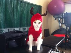 Benzene is not amused by his reindeer antlers...  I cannot help but love cats in sweaters.