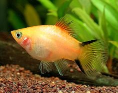 this is what my fish looks like, just less fat Swordtail Fish, Platy Fish, Tropical Freshwater Fish, Freshwater Aquarium Fish, Tropical Aquarium, Tropical Fish, Orcas, Aquarium Design, Aquarium Ideas