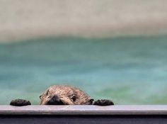 Sneaky sea otter is caught spying - January 7, 2016