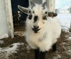 BABY GOAT!!! Soo cute when they are little like this!