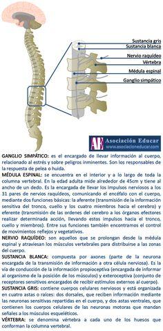 Infografía Neurociencias: Médula espinal. | Asociación Educar