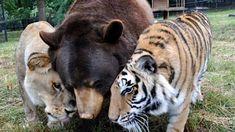 Tiger Ontario Spiegel : Die 735 besten bilder von tiere cut animals funny animals und