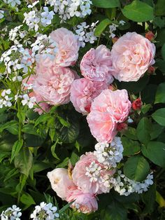 Pink 'Irene Watts' roses with white lunaria at the Geffrye Museum
