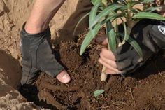 Doing some organic gardening is ideal and these tomatoes gardening tips are some of the best you will come across. Growing tomatoes in pots is ideal if you are suffering from limited garden space. Planting Vegetables, Planting Seeds, Growing Vegetables, Planting Flowers, Monkey Grass, Types Of Grass, Growing Tomatoes In Containers, Big Plants, Garden Maintenance
